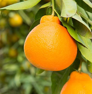 minneolas wonderful citrus